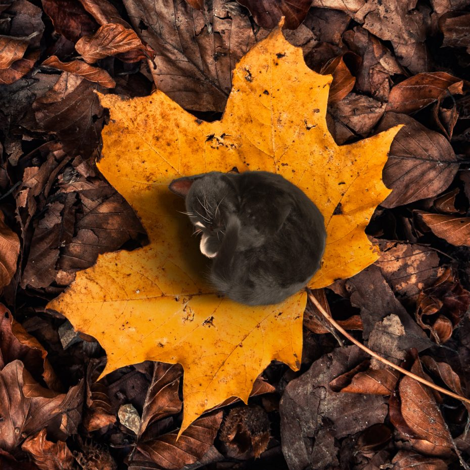 Tiny black cat curled up on yellow autumn leaf